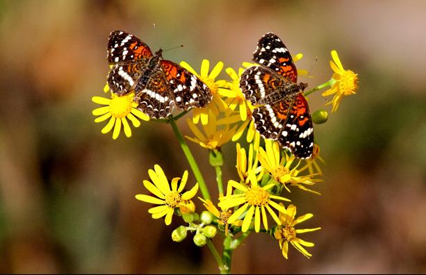 Alabama Butterfly Atlas