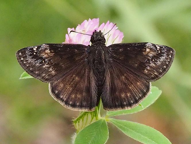 Wild indigo duskywing butterfly. Wild indigo duskywing