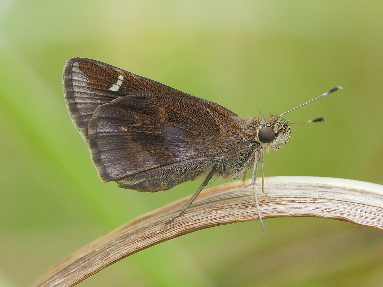 Clouded Skipper (Lerema accius)
