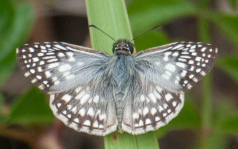 Tropical Checkered-Skipper (Burnsius oileus)