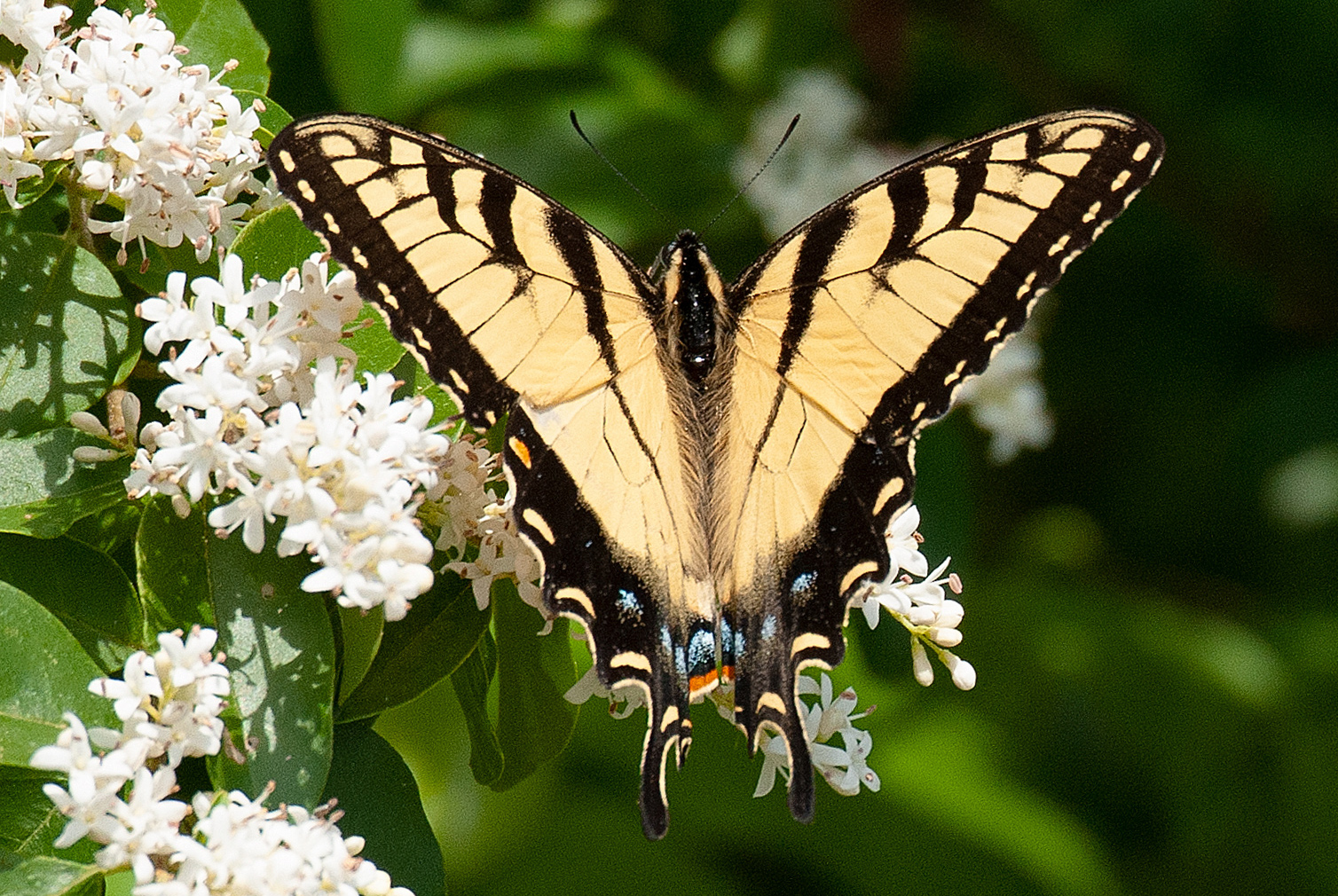 Appalachian Tiger Swallowtail (Papilio appalachiensis)