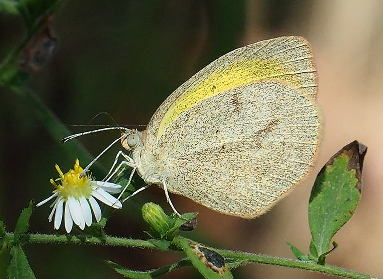 Barred Yellow (Eurema daira)
