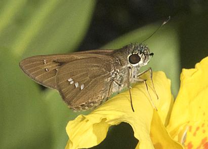 Brazilian Skipper (Calpodes ethlius)