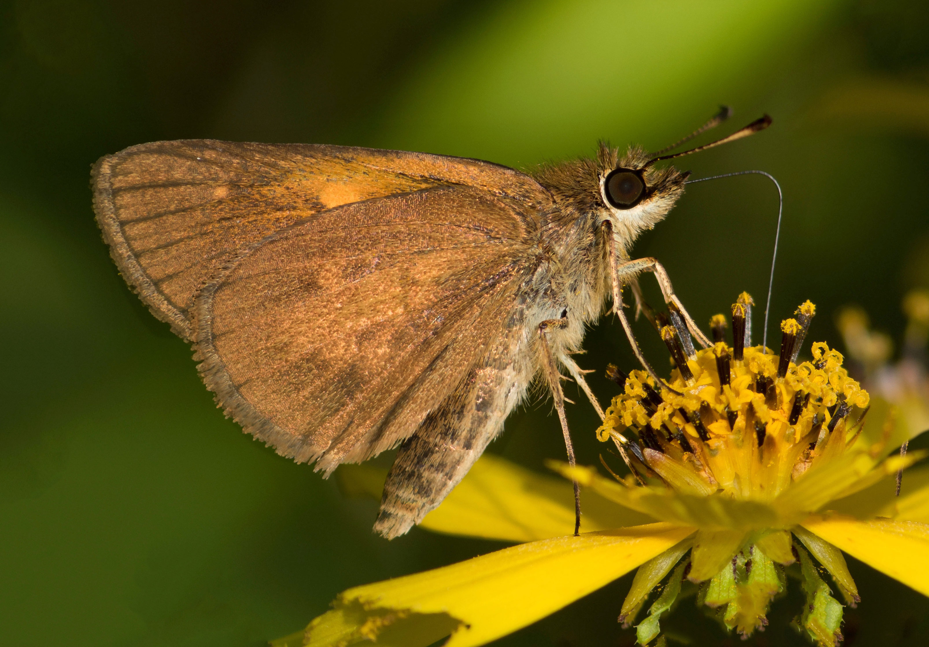 Broad-winged Skipper (Poanes viator)