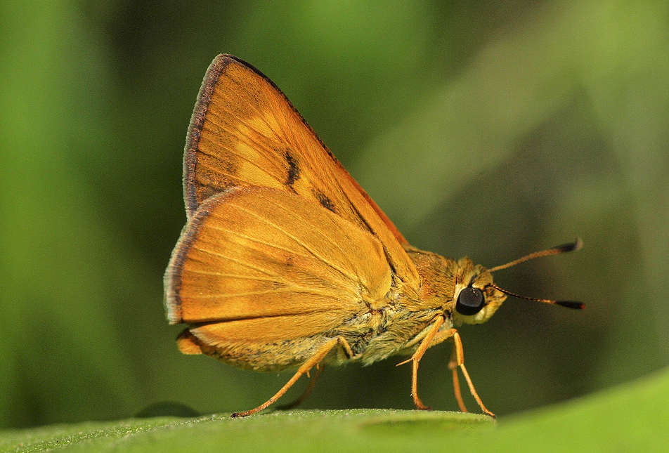 Byssus Skipper (Problema byssus)