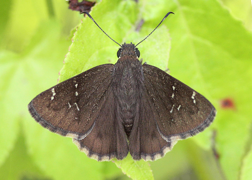 Confused Cloudywing (Thorybes confusis)