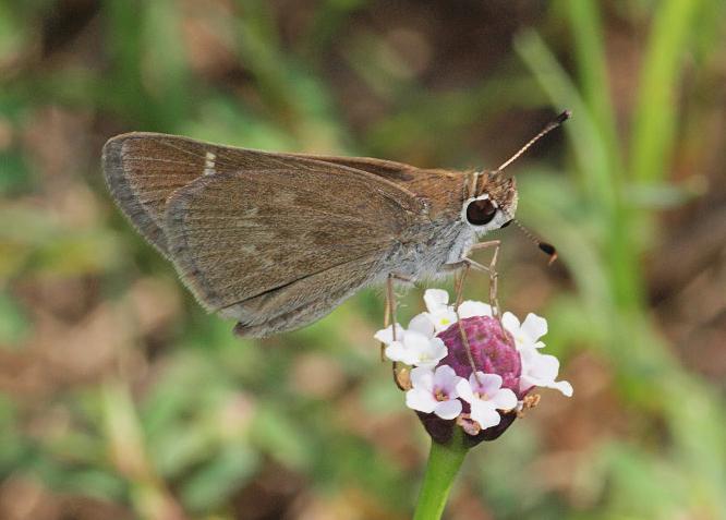Eufala Skipper (Lerodea eufala)