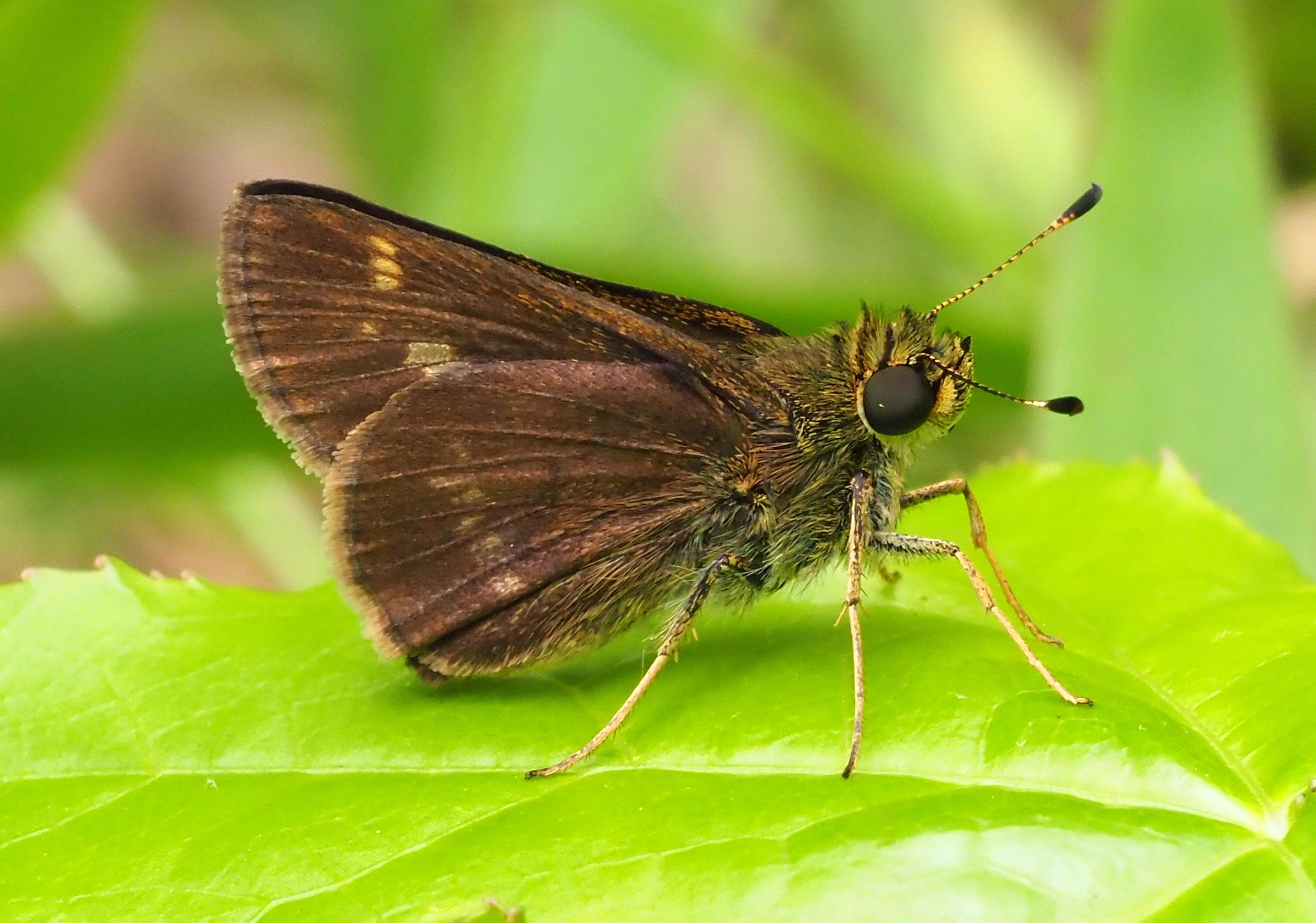 Little Glassywing (Pompeius verna)
