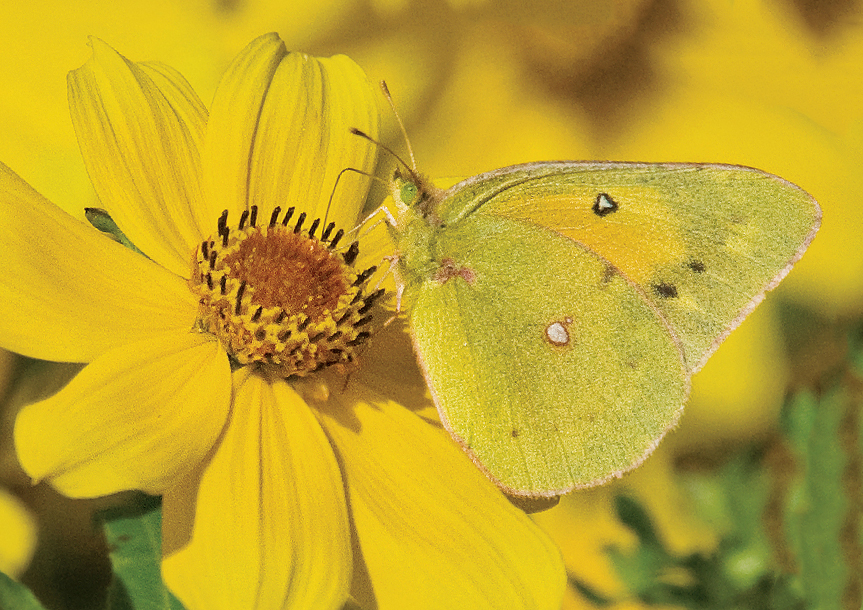 Orange Sulphur (Colias eurytheme)