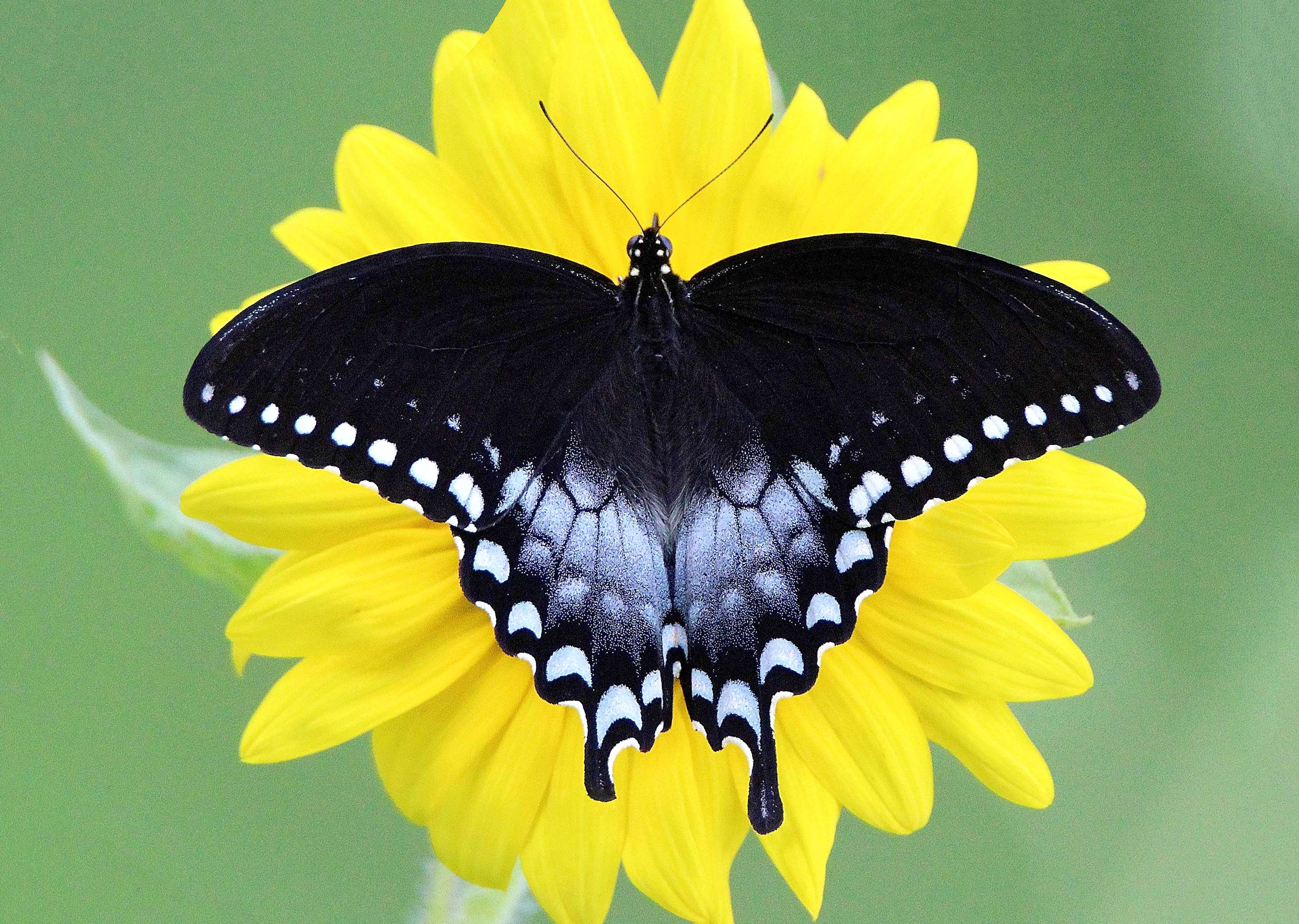 Ebush Swallowtail Alabama Erfly Atlas