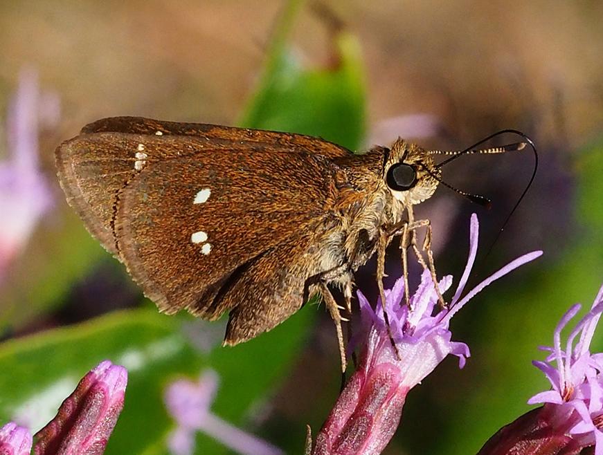 Twin-spot Skipper (Oligoria maculata)