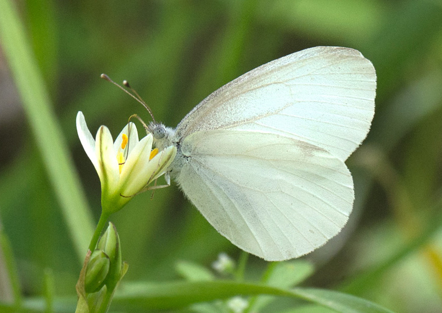 West Virginia White (Pieris virginiensis)