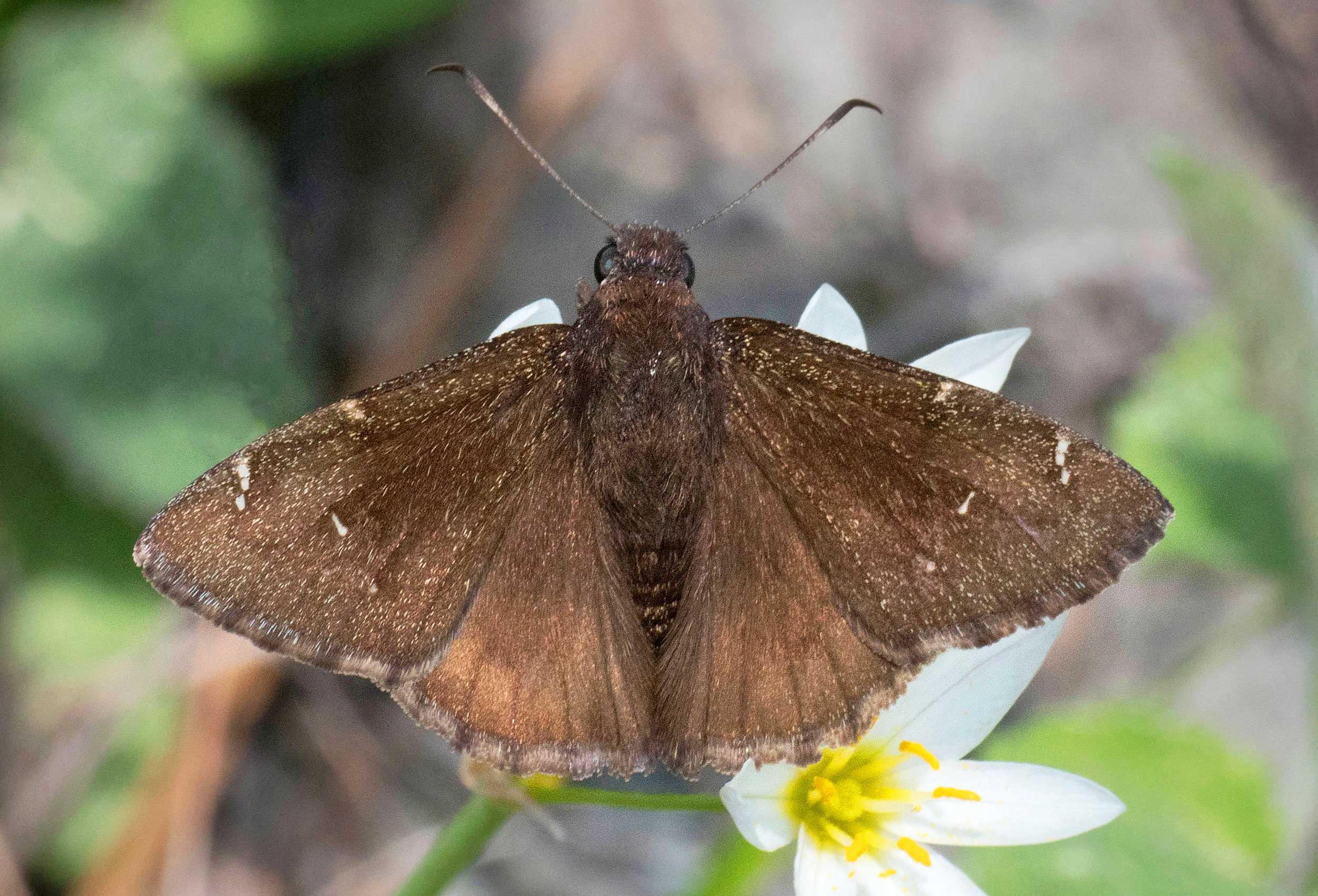 Northern Cloudywing (Cecropterus pylades)