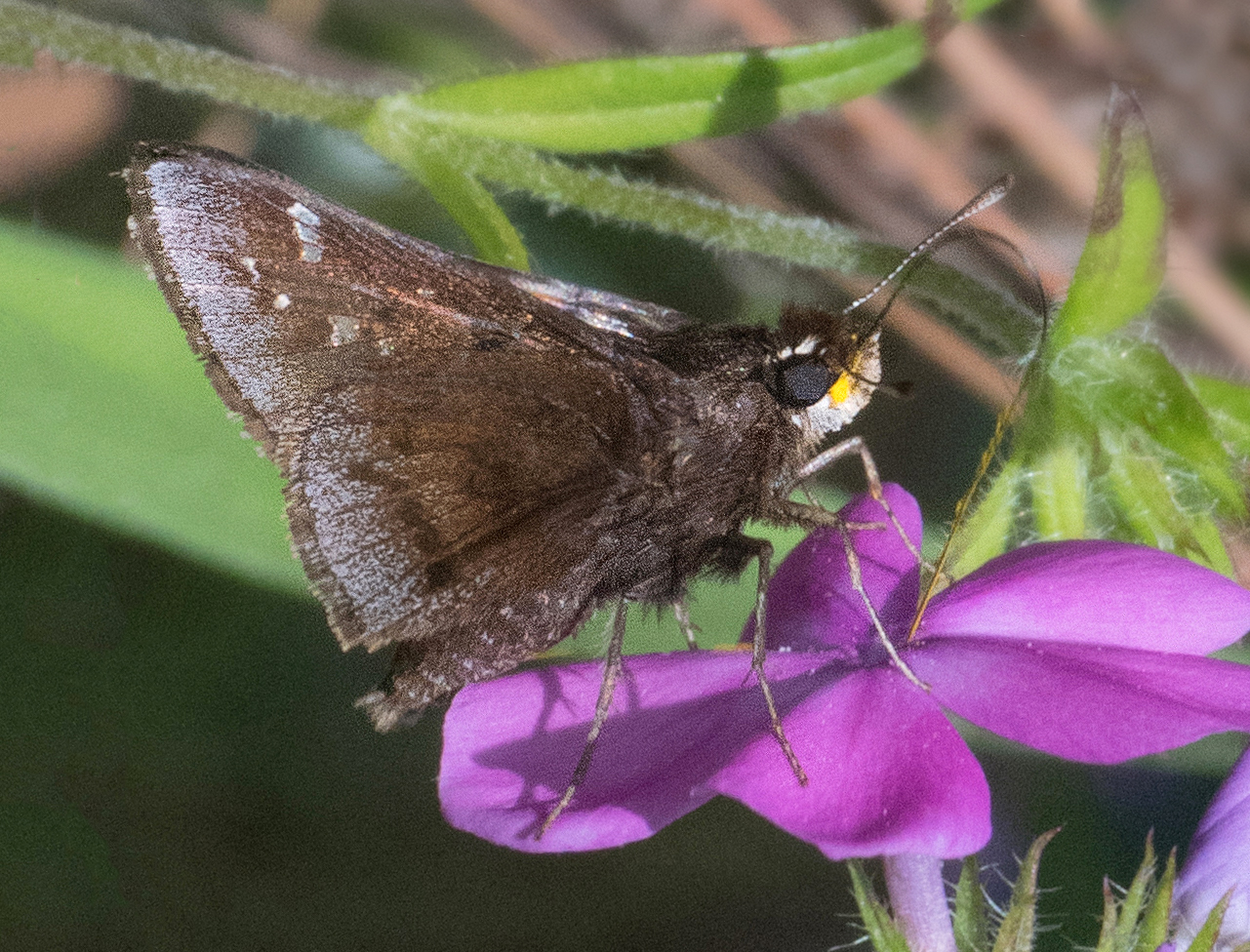 Dusted Skipper (Atrytonopsis hianna)