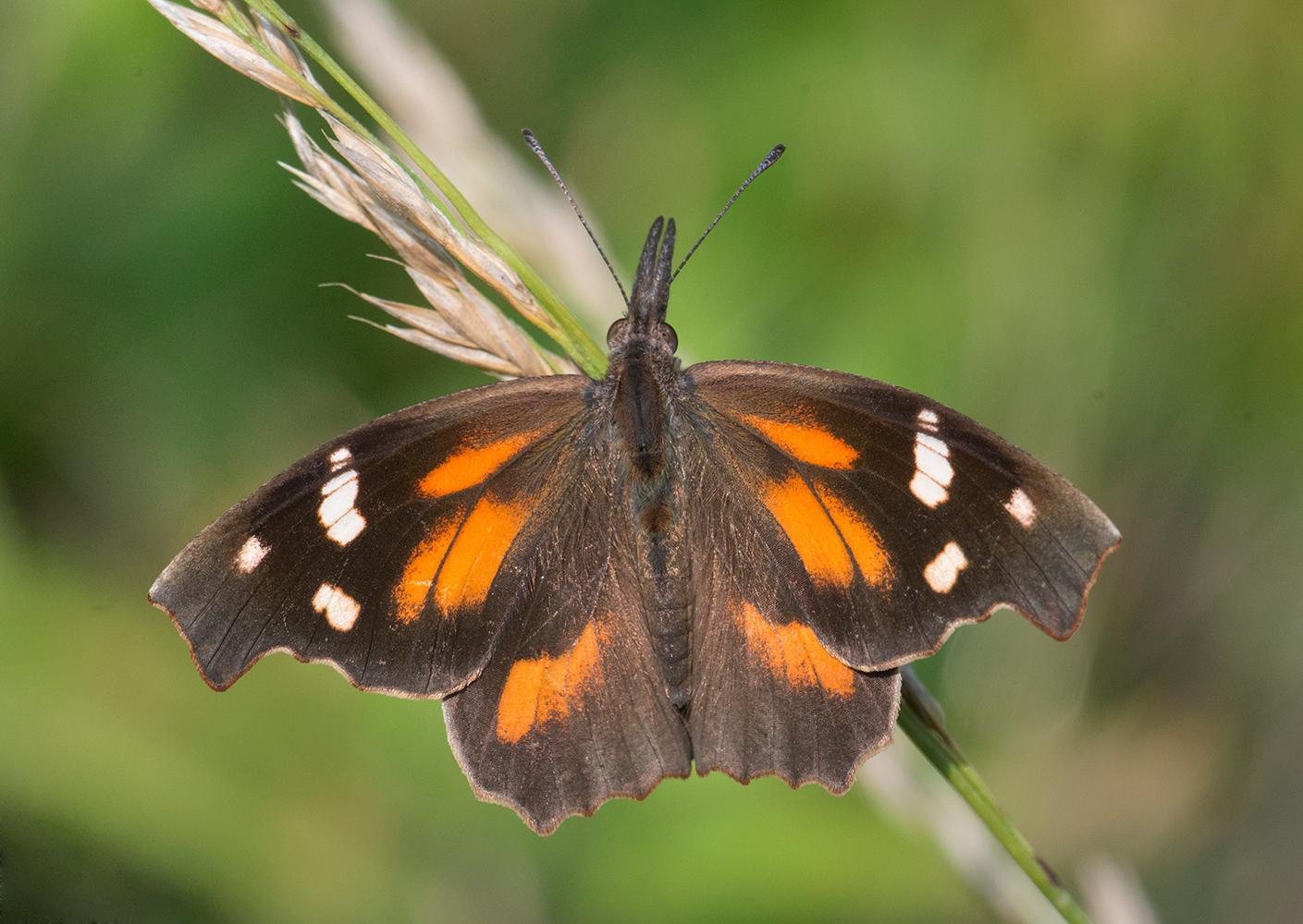 American Snout - Alabama Butterfly Atlas