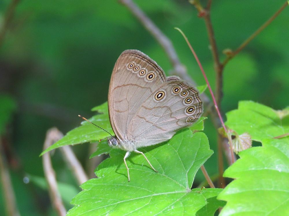 Appalachian Brown (Lethe appalachia)