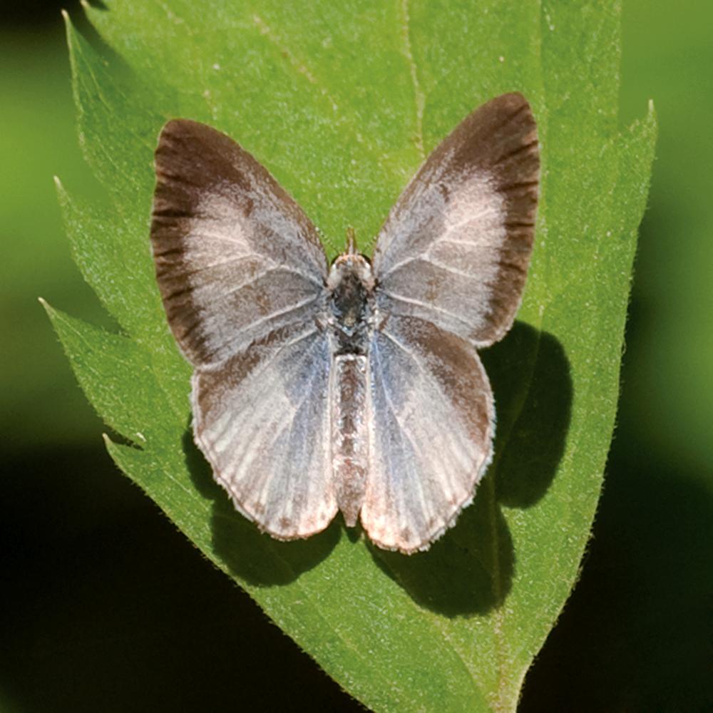 Appalachian Azure (Celastrina neglectamajor)