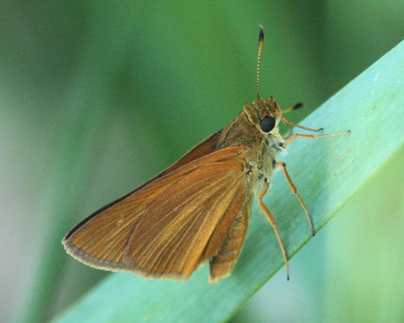 Bay Skipper (Euphyes bayensis)