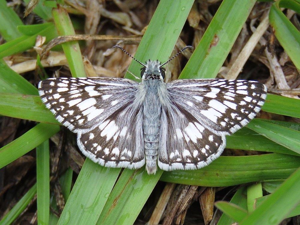 Common Checkered-Skipper / White Checkered-Skipper (Burnsius communis/albescens)