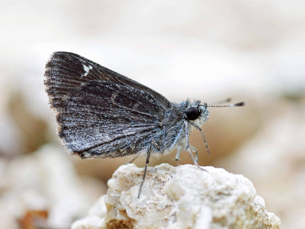 Common Roadside-Skipper (Amblyscirtes vialis)