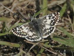 White Checkered-Skipper (Pyrgus albescens)