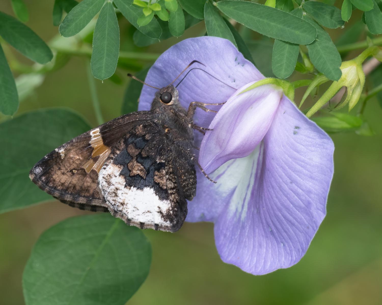 Hoary Edge (Cecropterus lyciades)