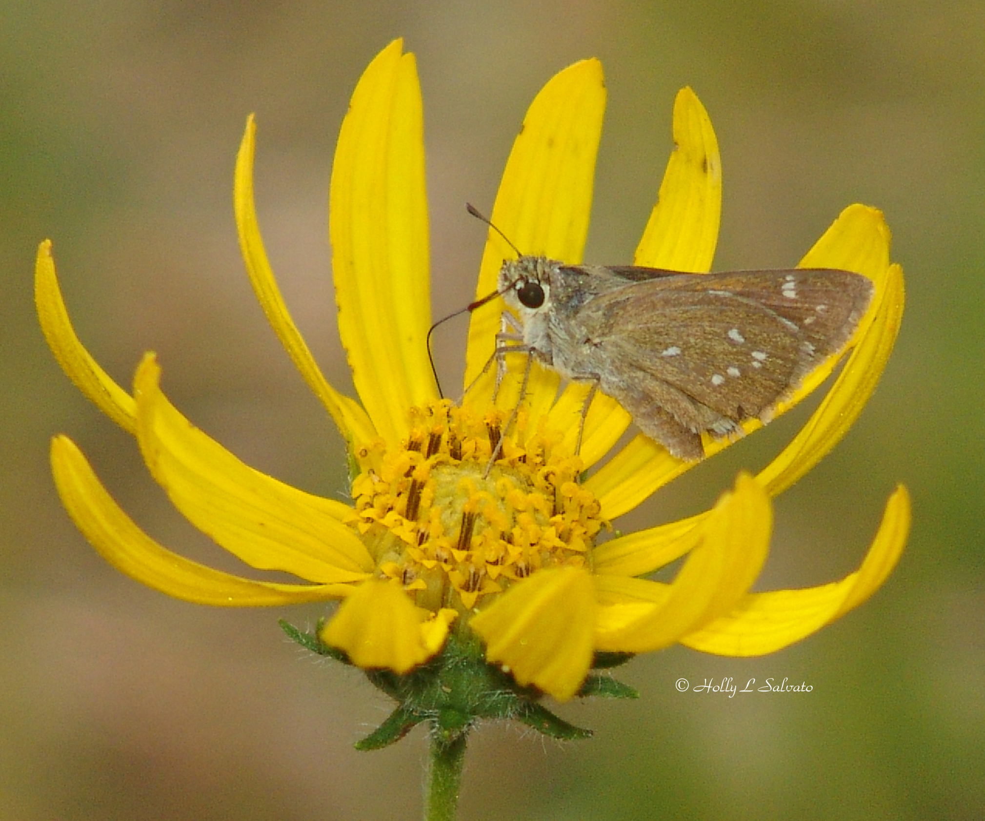 Dotted Skipper (Hesperia attalus)