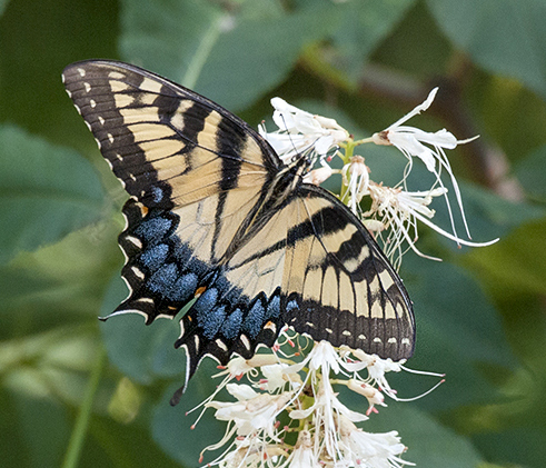 Eastern Tiger Swallowtail - Alabama Butterfly Atlas
