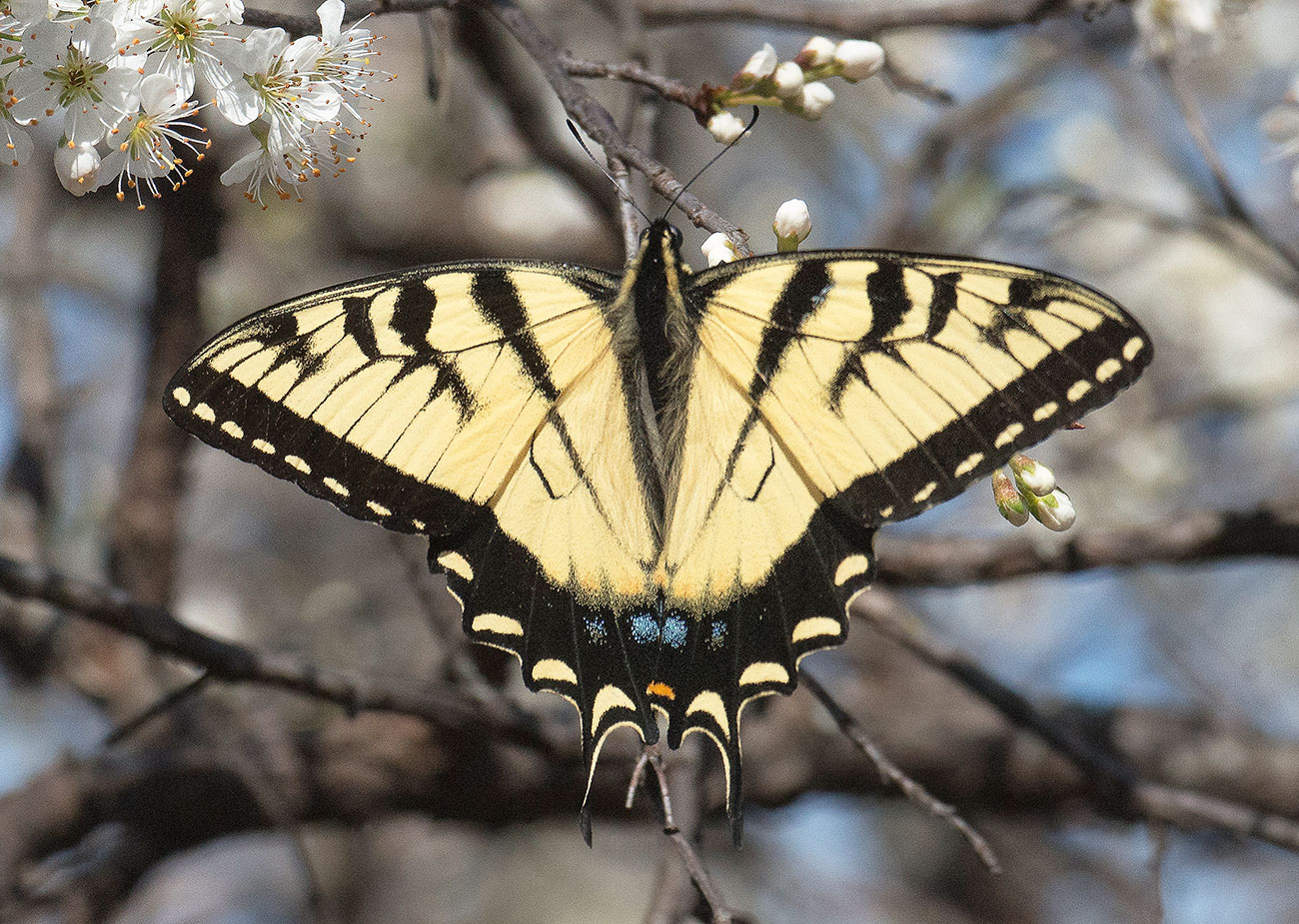 Eastern Tiger Swallowtail (Pterourus glaucus)