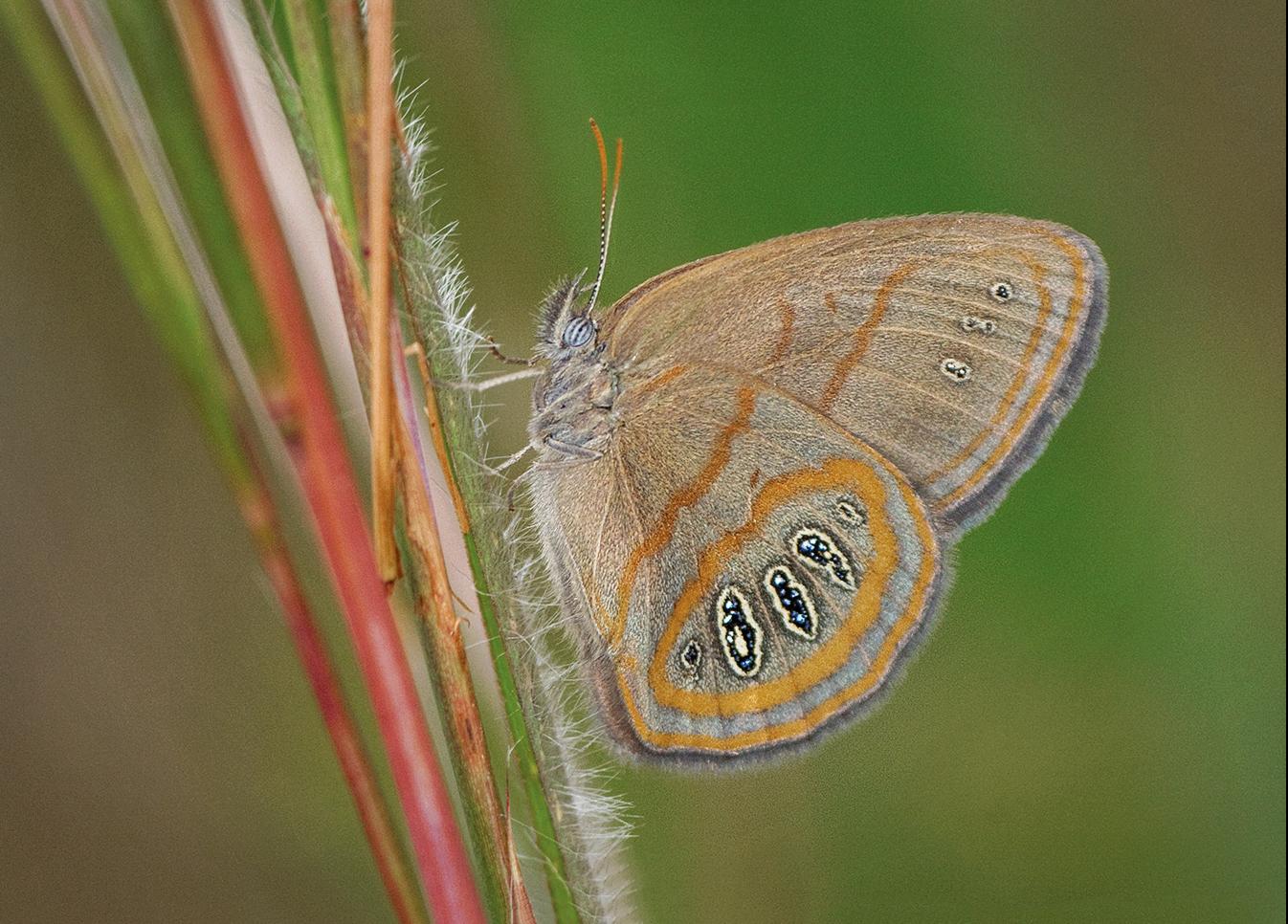 Georgia Satyr (Neonympha areolatus)