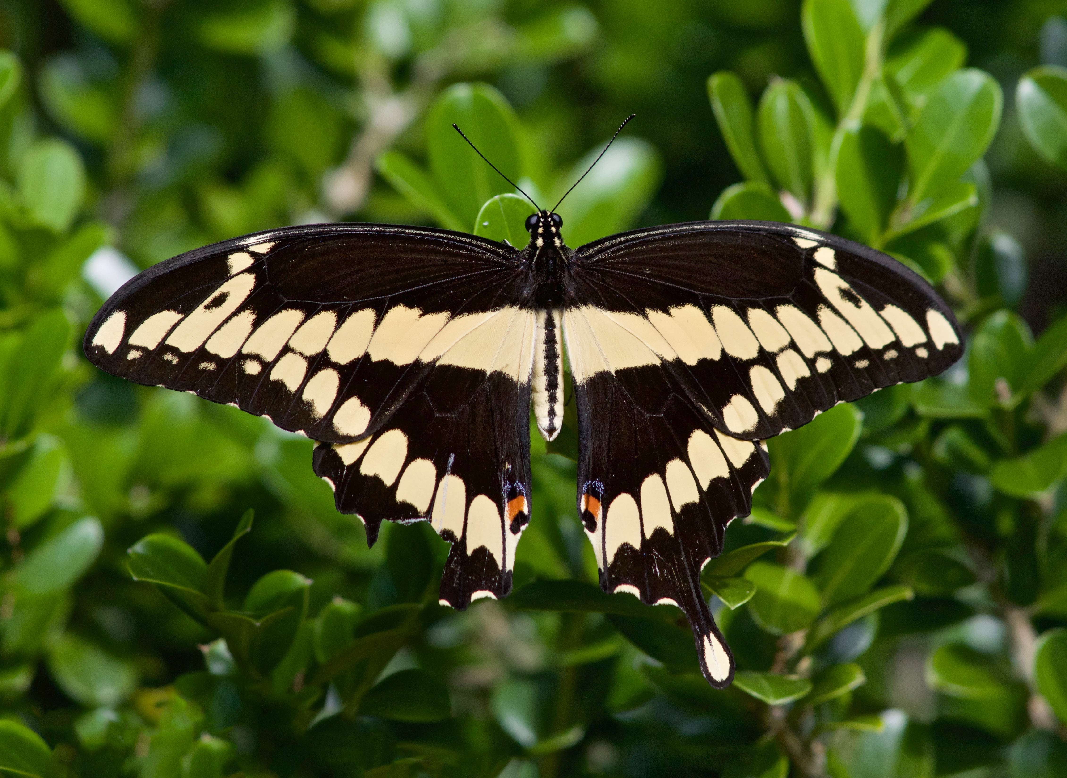 Giant Swallowtail (Heraclides cresphontes)