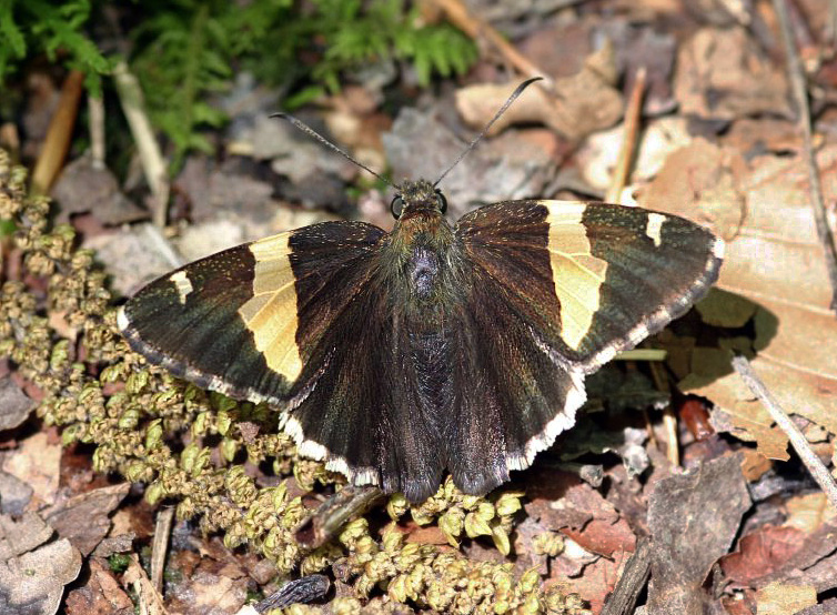 Golden Banded-Skipper (Autochton cellus)