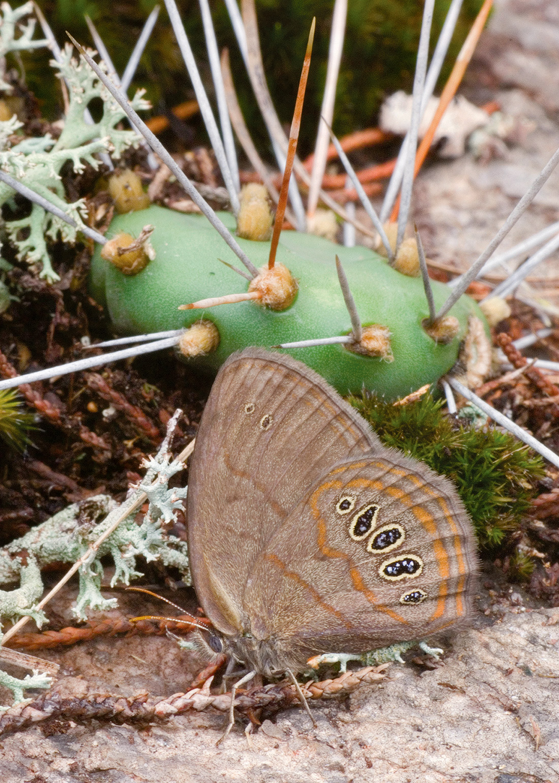 Helicta Satyr (Neonympha helicta)