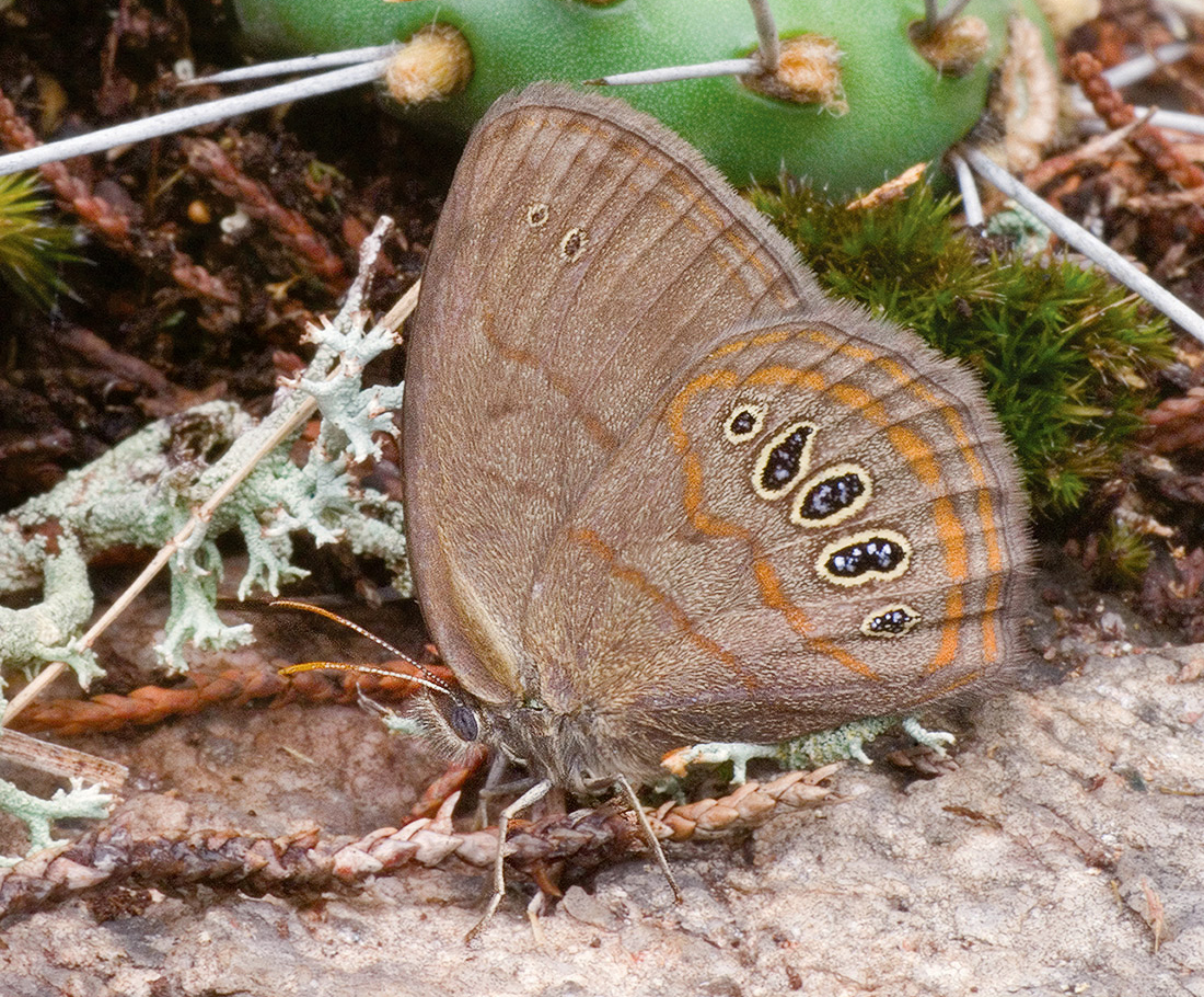 Helicta Satyr (Neonympha helicta)