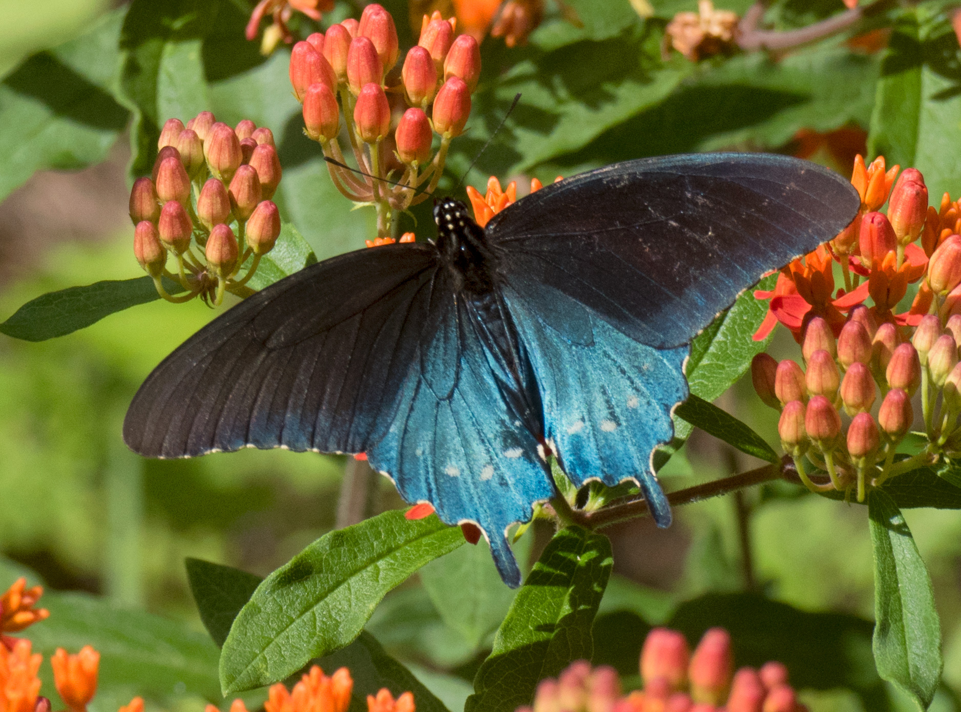 Pipevine Swallowtail Butterfly - Battus philenor - North ... |Pipevine Swallowtail Butterfly