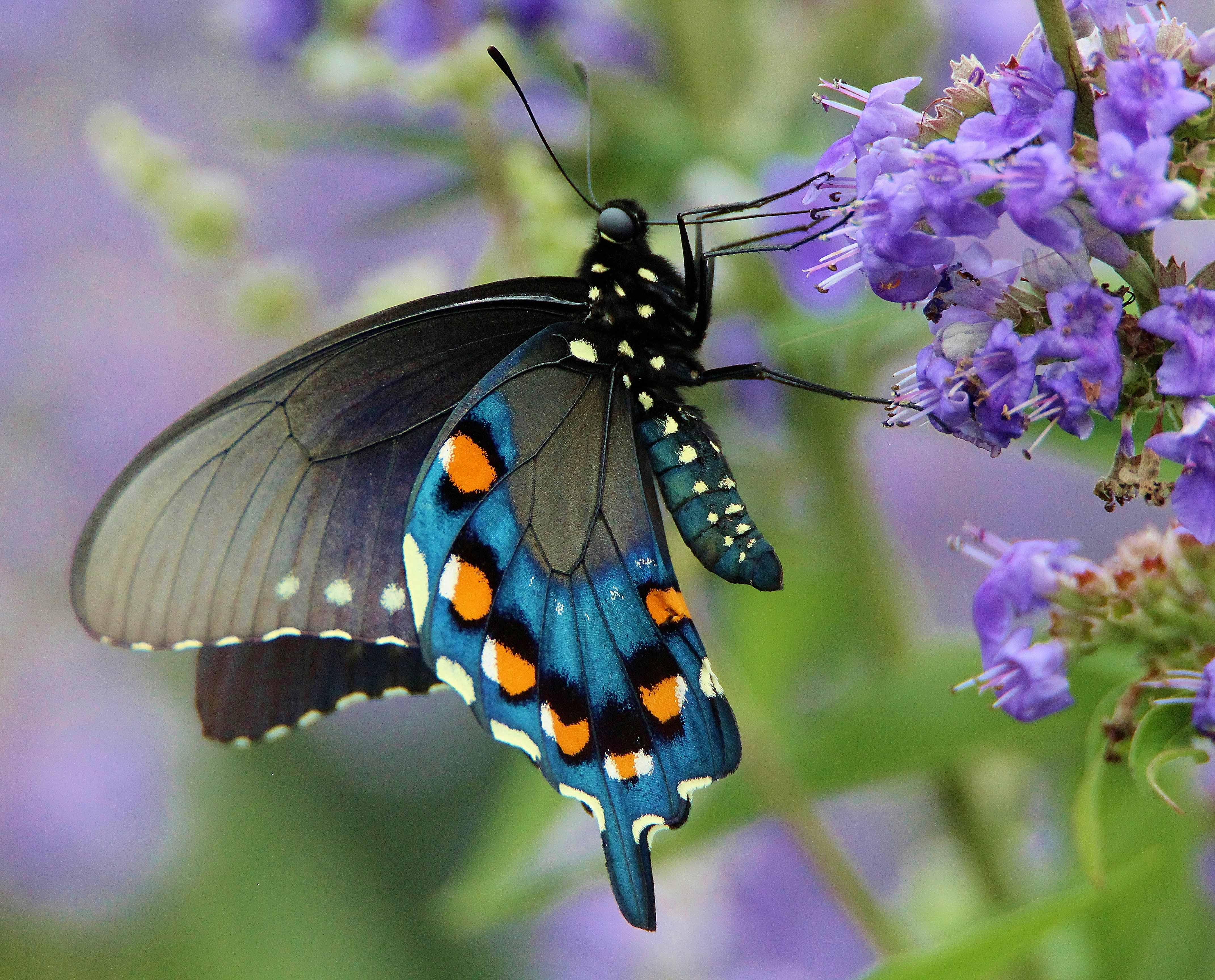 The Life of Animals: October 2011 |Pipevine Swallowtail Butterfly