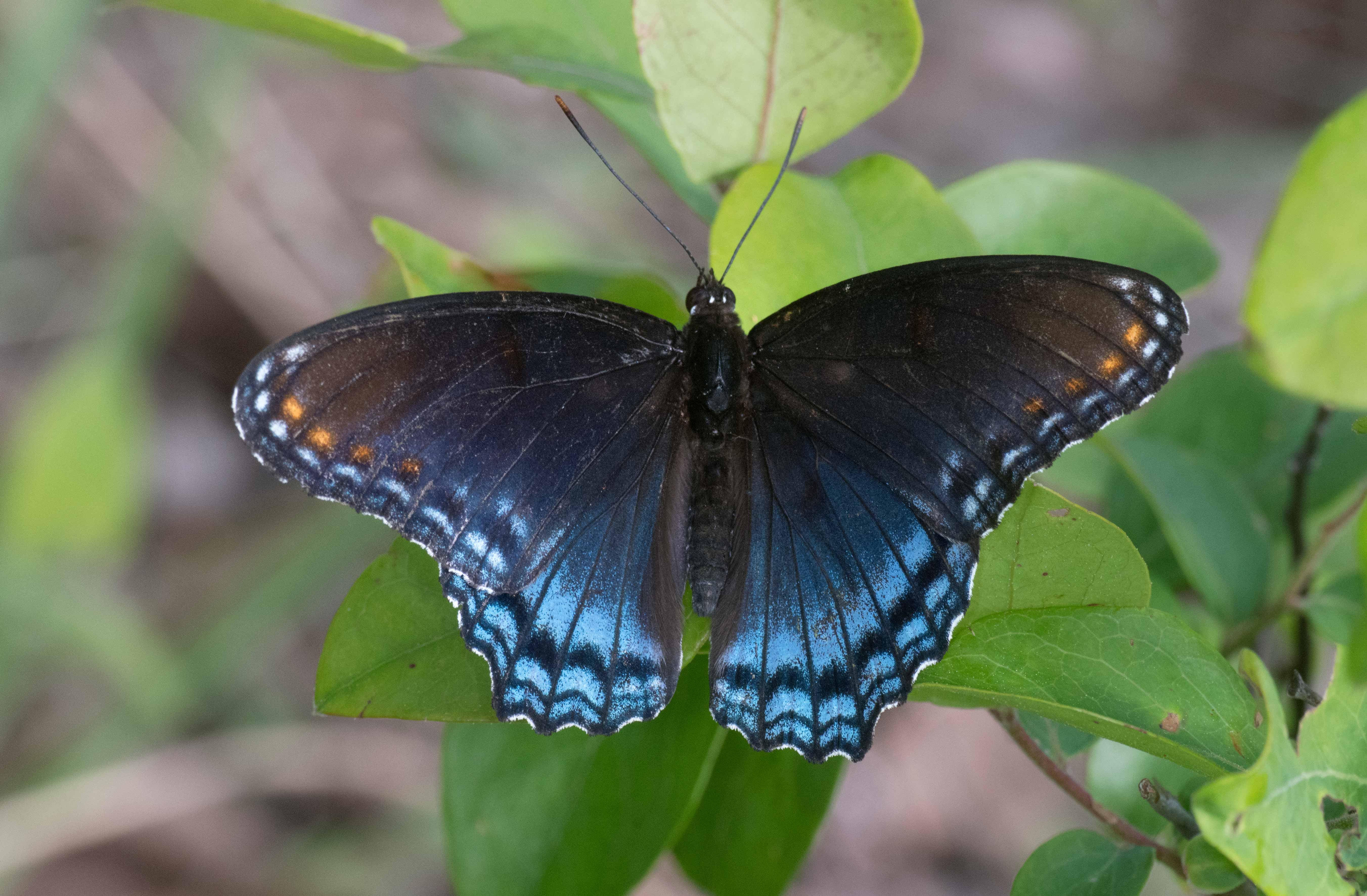 Red-spotted Purple - Alabama Butterfly Atlas