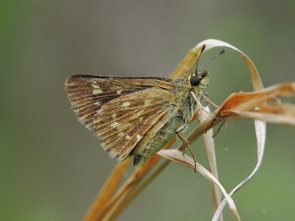 Reversed Roadside-Skipper (Amblyscirtes reversa)