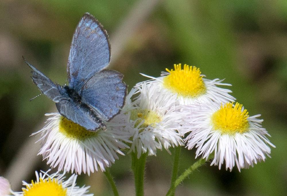 Silvery Blue (Glaucopsyche lygdamus)