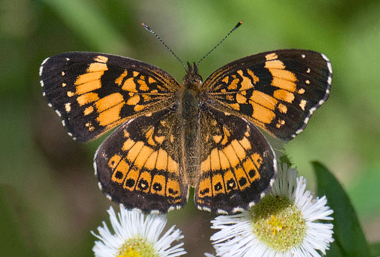 Silvery Checkerspot (Chlosyne nycteis)