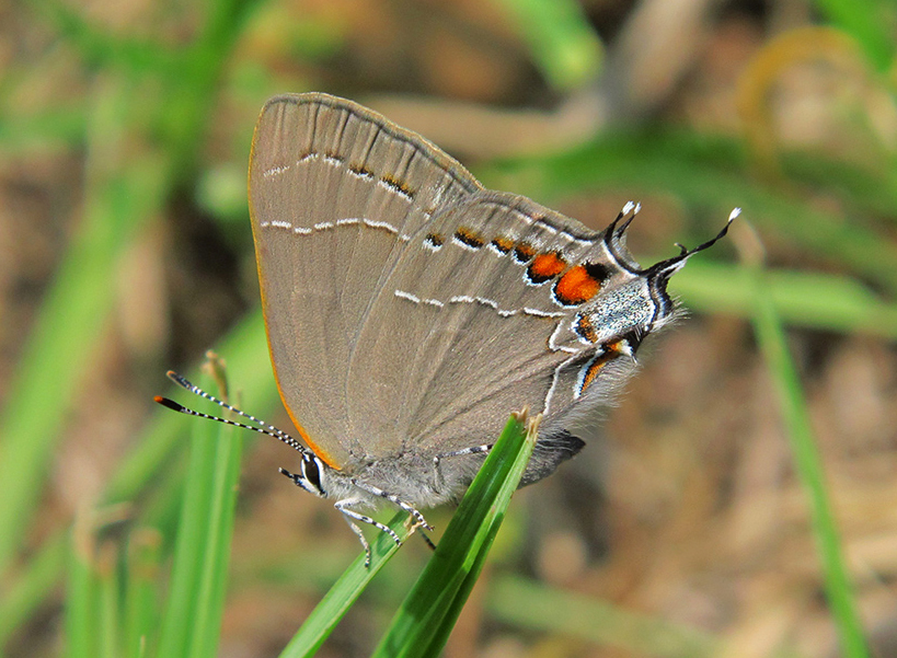 Oak Hairstreak (Satyrium favonius)