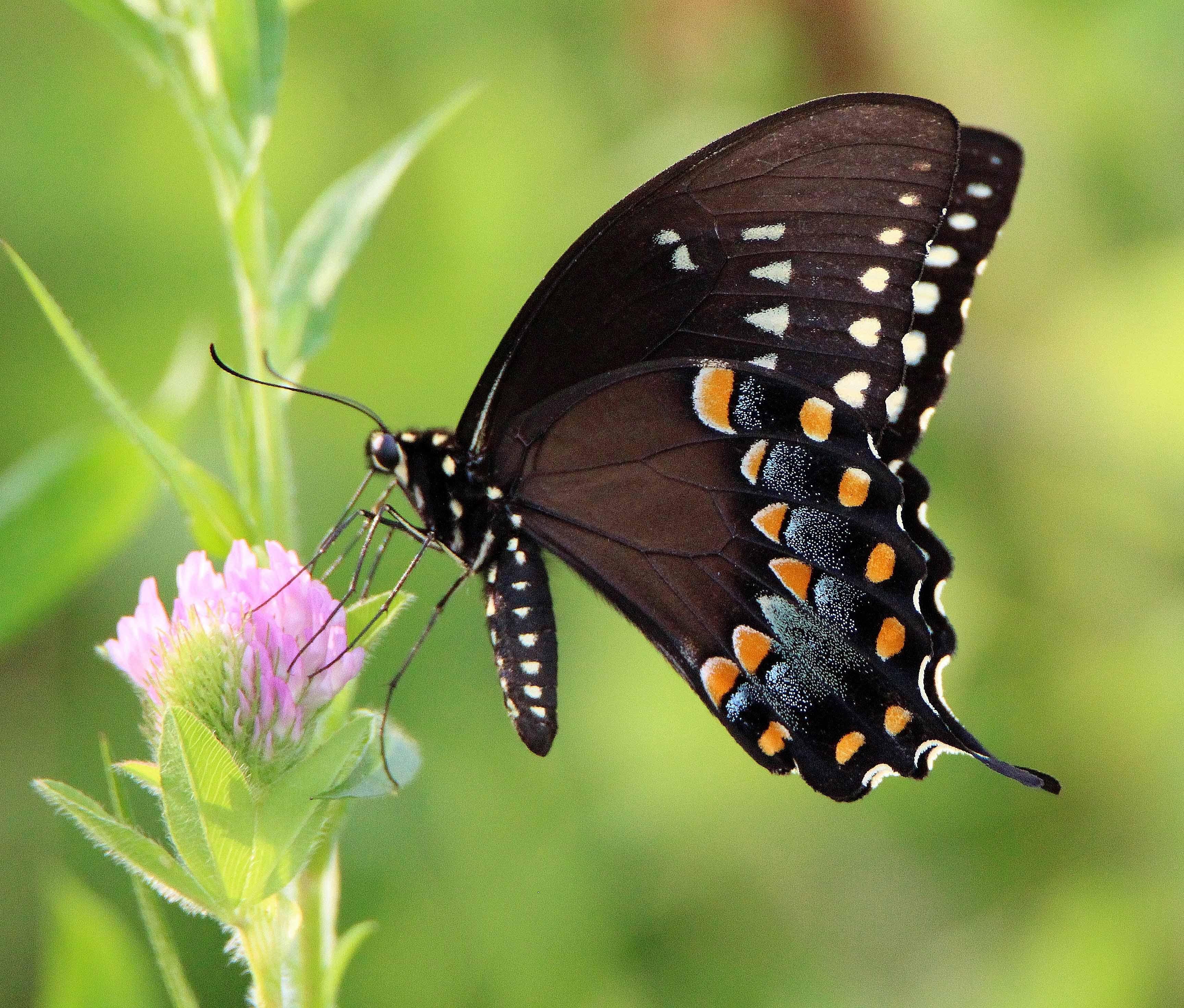 spicebush swallowtail alabama butterfly atlas