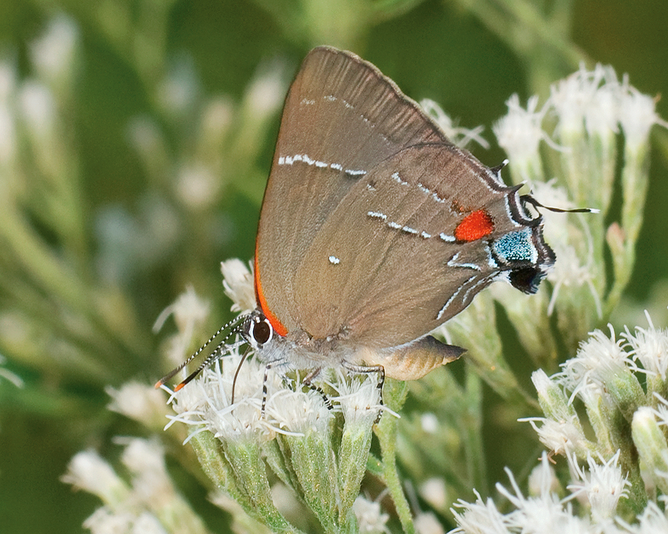 White-M Hairstreak (Parrhasius m-album)