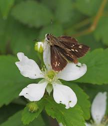 Reversed Roadside-Skipper