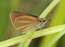 Duke's Skipper