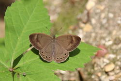 Appalachian Brown (Dorsal)