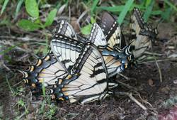 Appalachian Tiger Swallowtail (Ventral, Puddling)