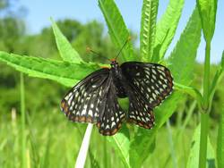 Baltimore Checkerspot (Dorsal)