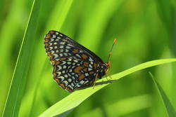 Baltimore Checkerspot (Ventral)