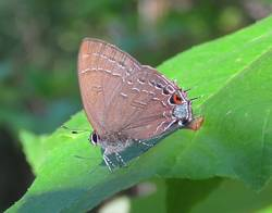 Banded Hairstreak (Ventral)